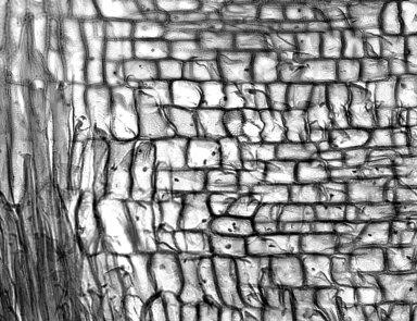 ASTERACEAE Scalesia villosa