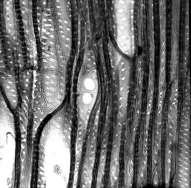 POLEMONIACEAE Eriastrum densifolium