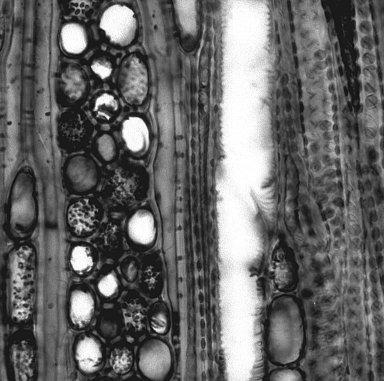 ERICACEAE Arctostaphylos auriculata