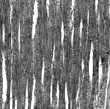 MYOPORACEAE Bontia daphnoides
