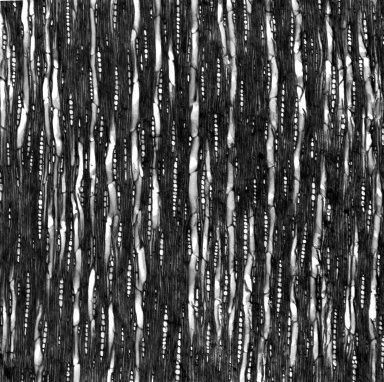 MYOPORACEAE Eremophila alterniflora