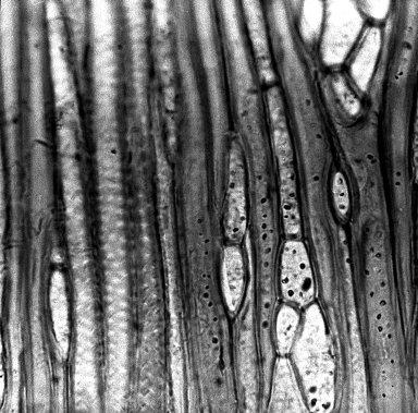 ROSACEAE Holodiscus microphyllus