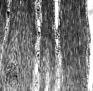 SAPINDACEAE Thouinidium decandrum