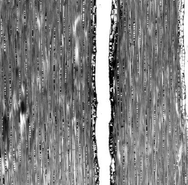 SAPINDACEAE Toulicia bullata