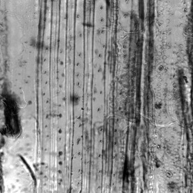 SOLANACEAE Brunfelsia calycina