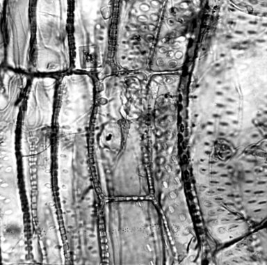 SOLANACEAE Nicotiana otophora