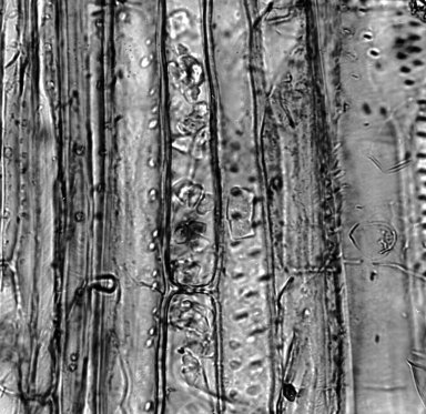 SOLANACEAE Nicotiana raimondii