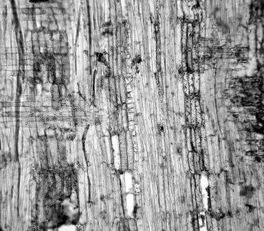 LEGUMINOSAE PAPILIONOIDEAE Piscidia carthagenensis
