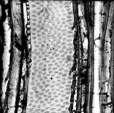ONAGRACEAE Fuchsia arborescens