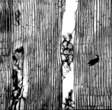 ONAGRACEAE Fuchsia boliviana