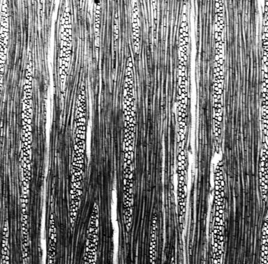 ARALIACEAE Fatsia japonica