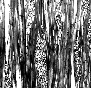 CHLORANTHACEAE Ascarina rubricaulis