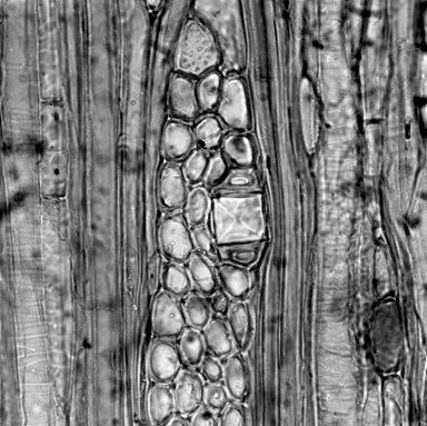 PITTOSPORACEAE Pittosporum tenuifolium
