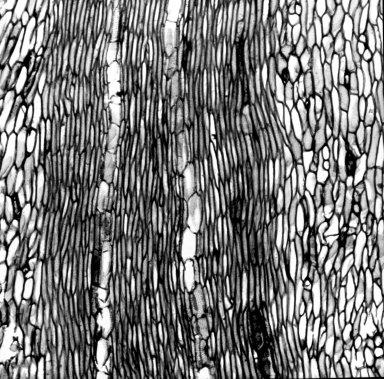 LACTORIDACEAE Lactoris fernandeziana