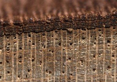 ANNONACEAE Annona quinduensis