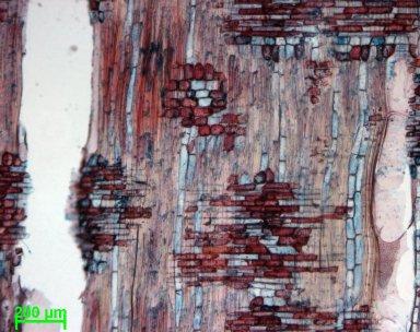 SAPOTACEAE Baillonella toxisperma
