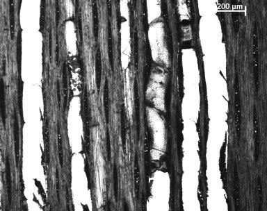 LEGUMINOSAE DETARIOIDEAE Guibourtia copallifera