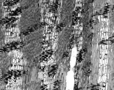 LEGUMINOSAE CAESALPINIOIDEAE Peltophorum africanum