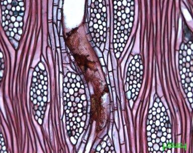 MELIACEAE Melia volkensii