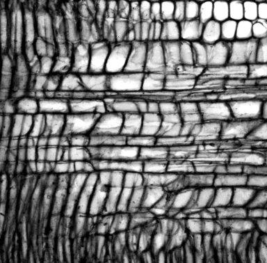 ASTERACEAE Argyroxiphium kauense