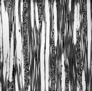 BRETSCHNEIDERACEAE Bretschneidera sinensis