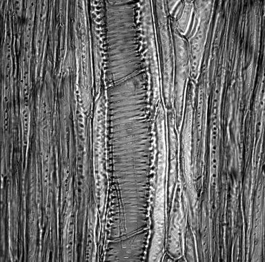 BRASSICACEAE Cheiranthus mutabilis