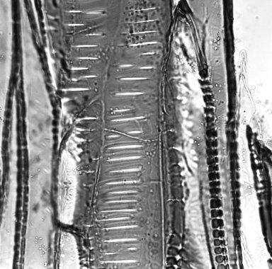 EUPHORBIACEAE Euphorbia canariensis