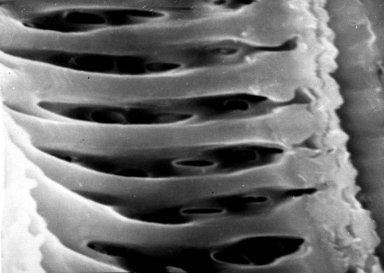 PAPAVERACEAE Argemone fruticosa