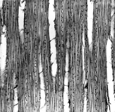SOLANACEAE Datura meteloides
