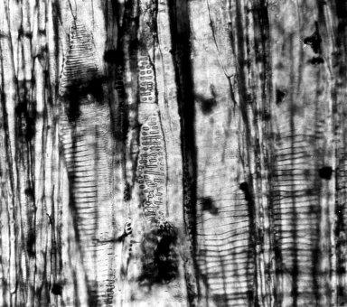 CYRILLACEAE Cyrilloxylon eocenicum