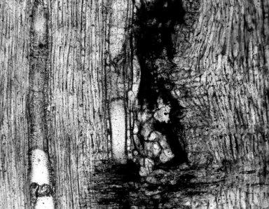 LAURACEAE Laurinoxylon eocenicum