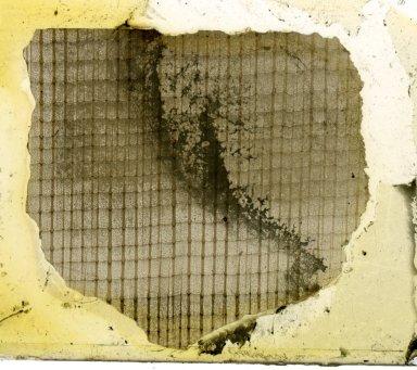 PLATANACEAE Platanus americana