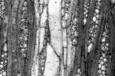 LAURACEAE Cryptocaryoxylon hancockii