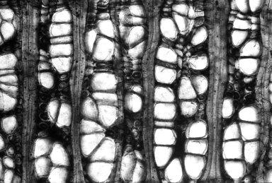 MAGNOLIACEAE Liriodendroxylon multiporosum