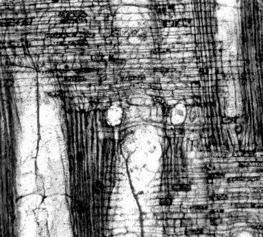 LAURACEAE Laurinoxylon porosum
