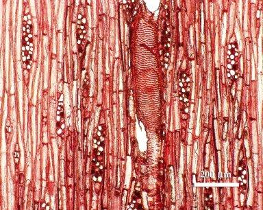 BURSERACEAE Canarium venosum