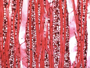 PHYLLANTHACEAE Margaritaria discoidea