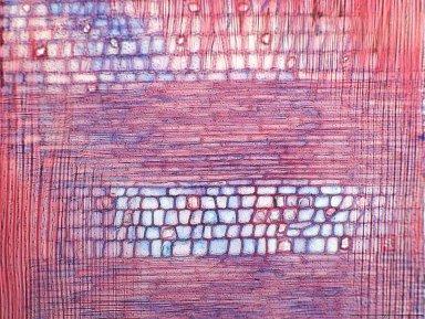 SALICACEAE Homalium letestui