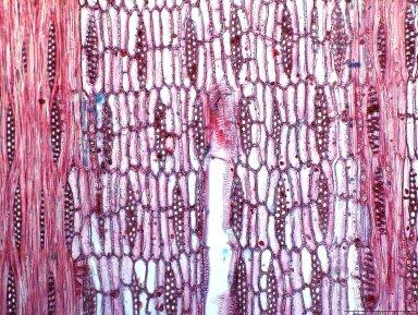 LEGUMINOSAE CAESALPINIOIDEAE Bobgunnia fistuloides