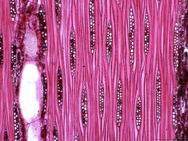 LEGUMINOSAE DETARIOIDEAE Afzelia bipindensis