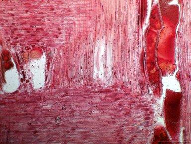 LEGUMINOSAE CAESALPINIOIDEAE Guibourtia coleosperma