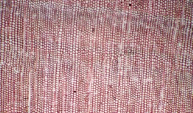 TAXACEAE Austrotaxus spicata