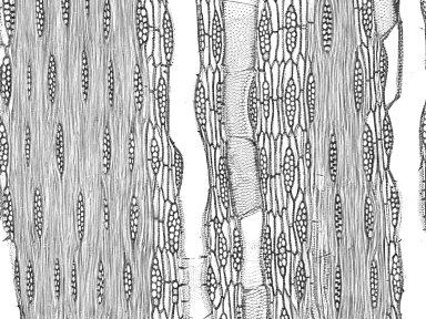 BIGNONIACEAE Handroanthus chrysotrichus