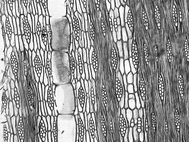 BIGNONIACEAE Handroanthus barbatus