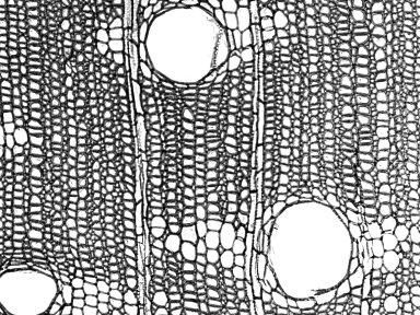 BIGNONIACEAE Pajanelia longifolia