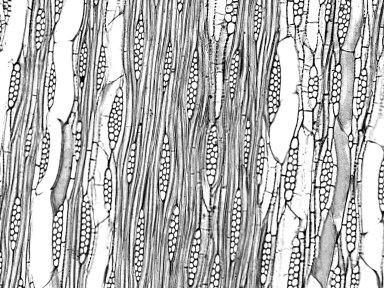 BIGNONIACEAE Sparattosperma leucanthum