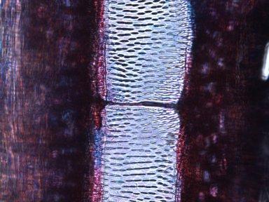 BIGNONIACEAE Pleonotoma melioides