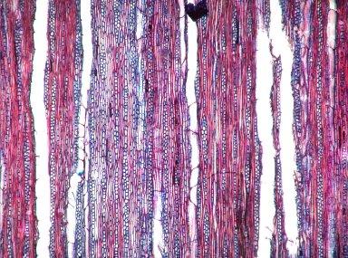 BIGNONIACEAE Stizophyllum riparium