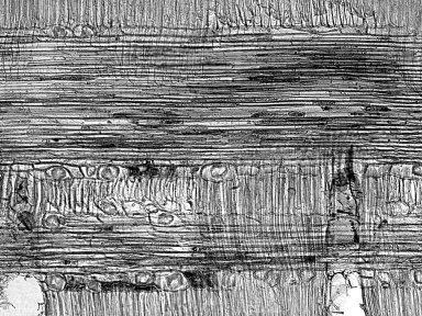 ANACARDIACEAE Pistacia chinensis