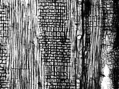 BIGNONIACEAE Xylophragma seemaniana